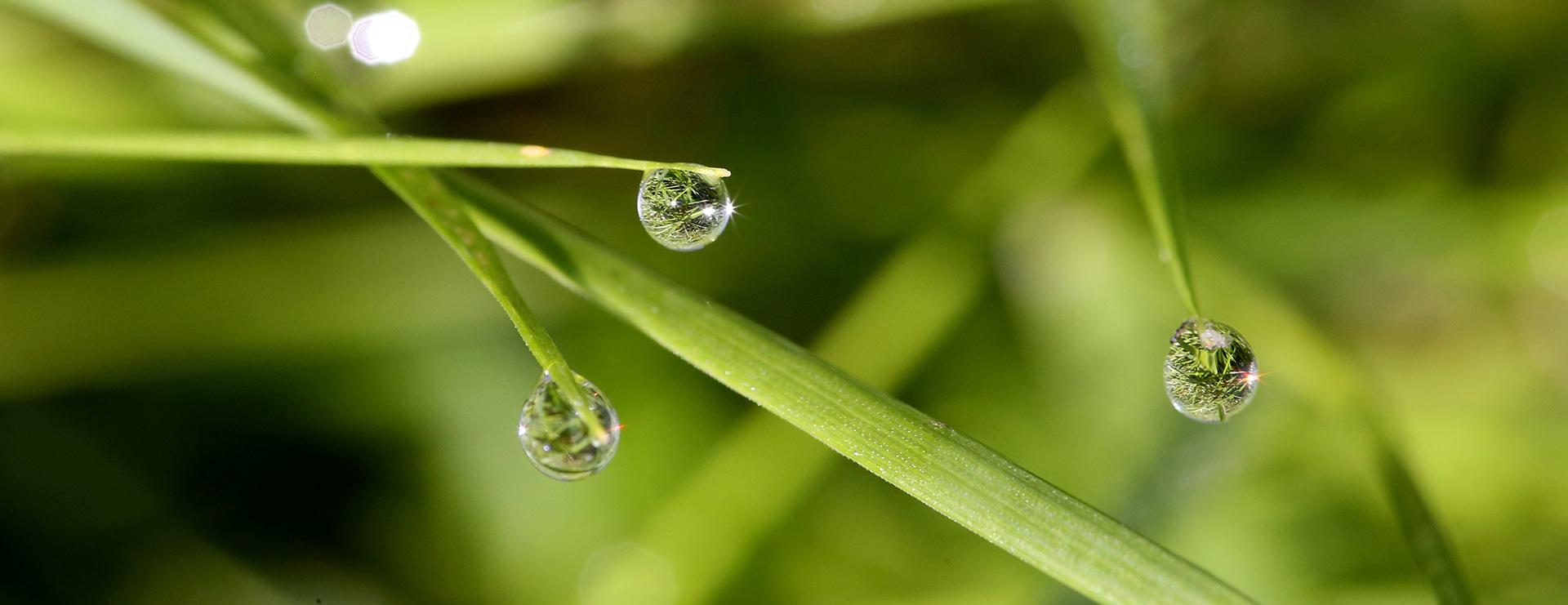 Gräser mit Wassertropfen